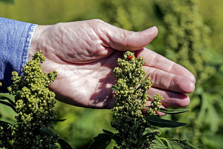 Quinoa Growing Guide