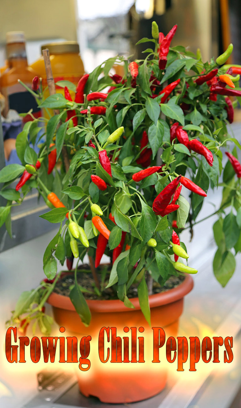 Hot Tips for Growing Chili Peppers at Home
