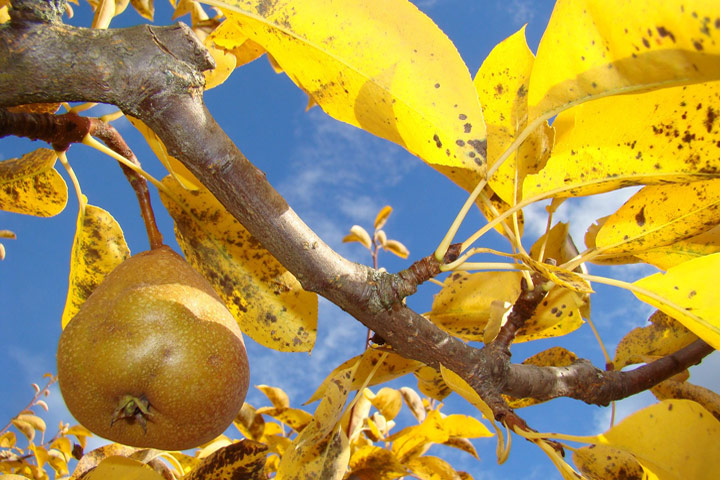 Pears – Growing Guide