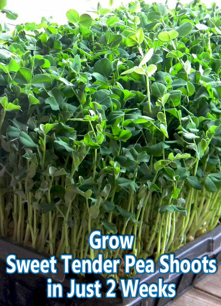 Grow Sweet Tender Pea Shoots in Just Two Weeks