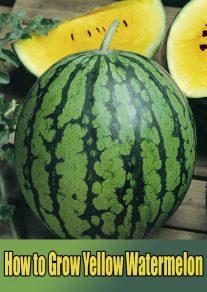 How to Grow Yellow Watermelon