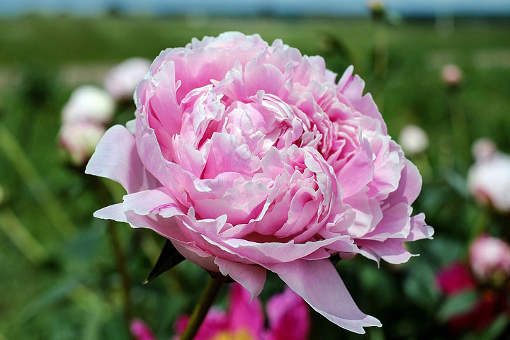 Peonies How To Plant Grow And Care For Peony Plants Quiet Corner