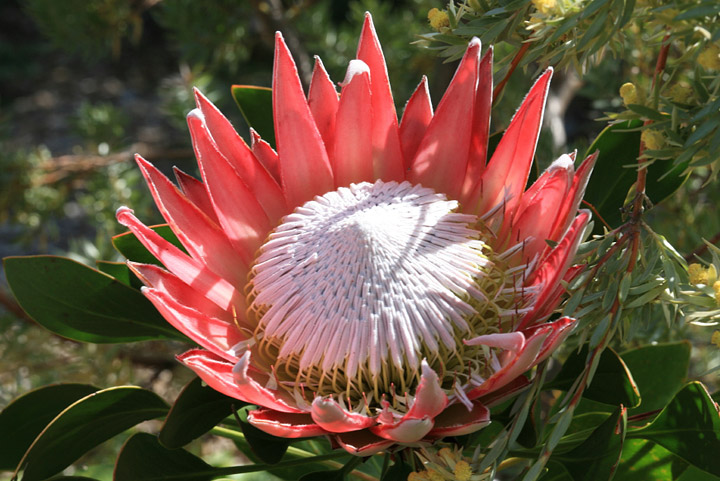 Protea – Taking after Proteus the Son of Poseidon