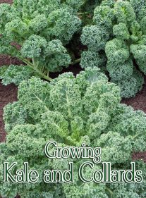 Gardening Guide – How to Grow Kale and Collards