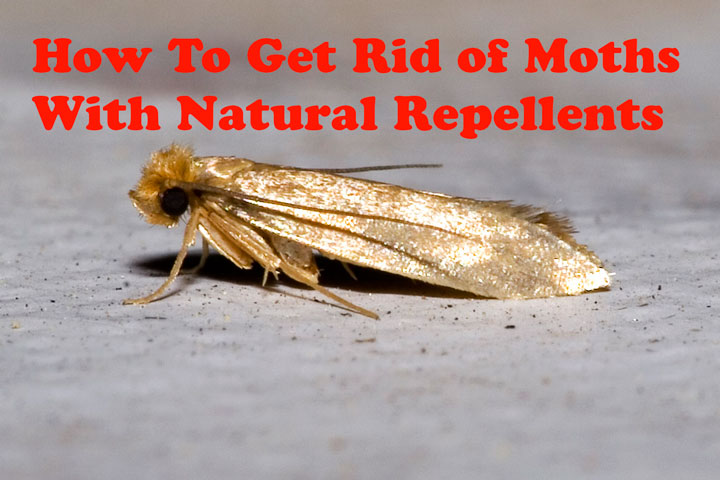 Quiet Corner How To Get Rid Of Moths With Natural Repellents Quiet Corner