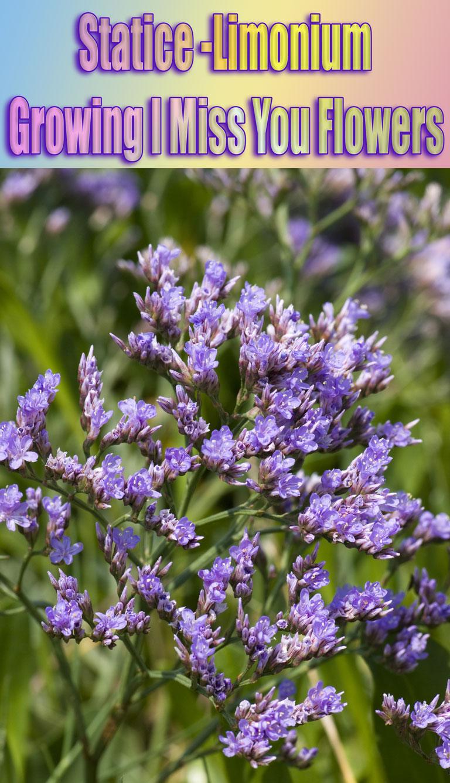 Statice Limonium - Growing I Miss You Flowers