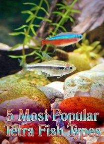 Tetra Fish Info: 5 Most Popular Tetra Fish Types