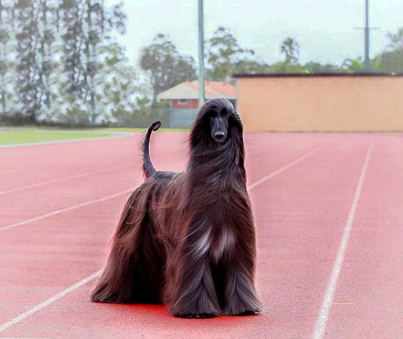 Afghan Hound Tea - Prettiest Dog In The World?