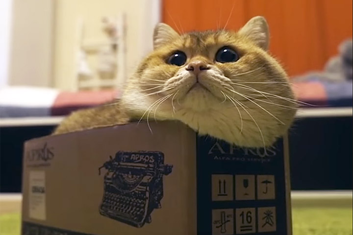 Funny Cat Video - Cat Determined to Fit Inside Box