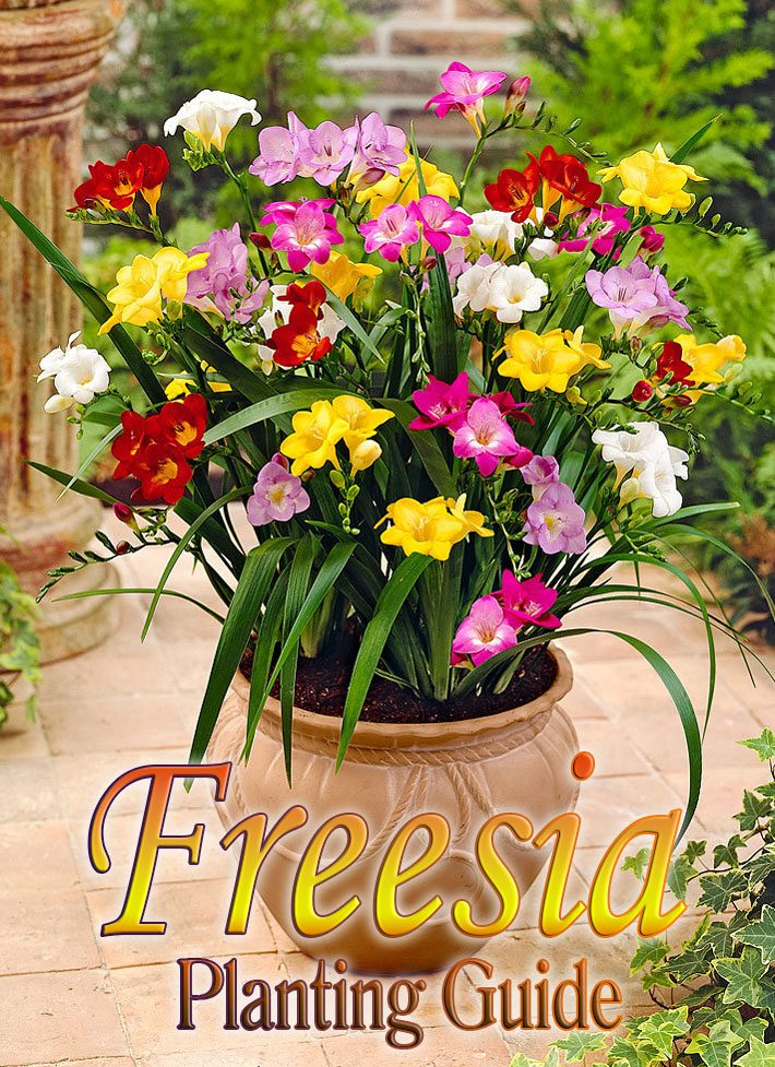Freesia Planting Guide