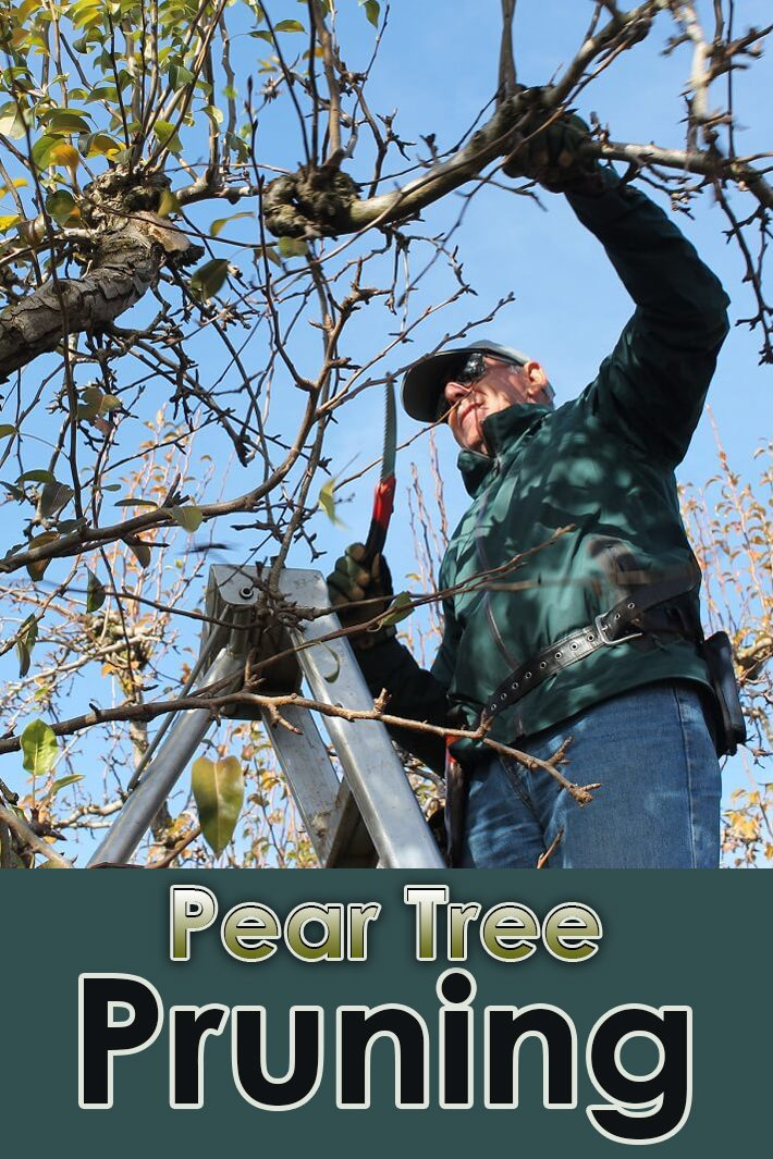 Pear Tree Pruning