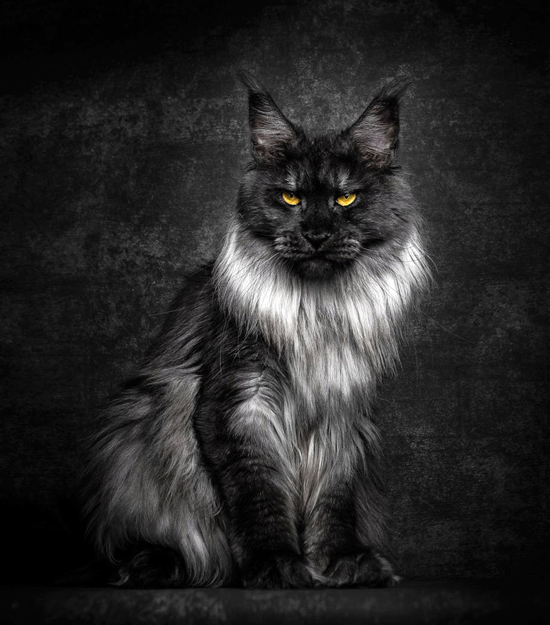 """Strikingly Beautiful Portraits of """"Cats Kings"""" – Maine Coons"""