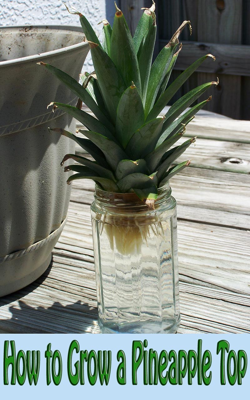 How to Grow a Pineapple Top