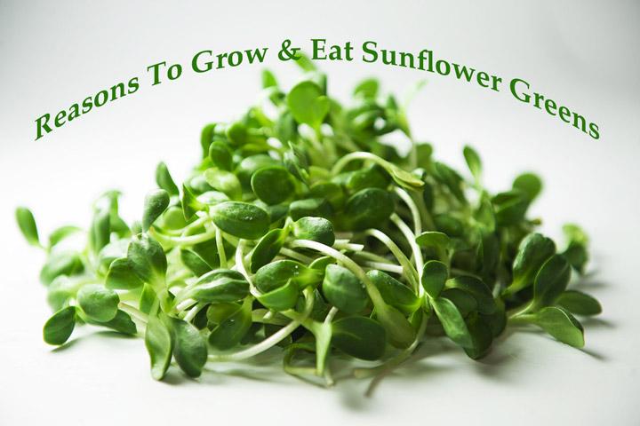 Reasons To Grow & Eat Sunflower Greens