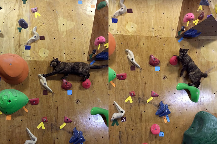 Funny Animal Video - Cat Masters Climbing Wall
