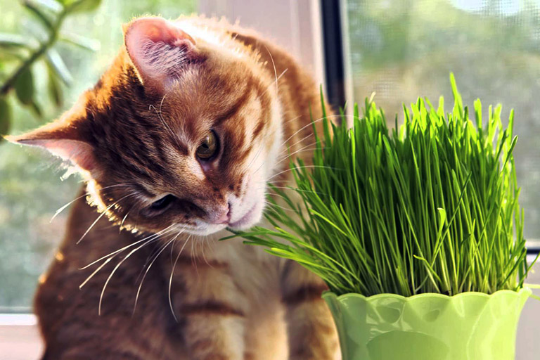 Growing cat grass indoors quiet corner for Indoor gardening with cats