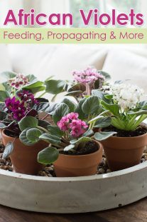 African Violets: Tips For Feeding, Propagating & More