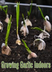 Growing Garlic Indoors