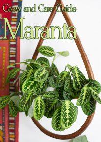Grow and Care Guide: Beautiful Maranta