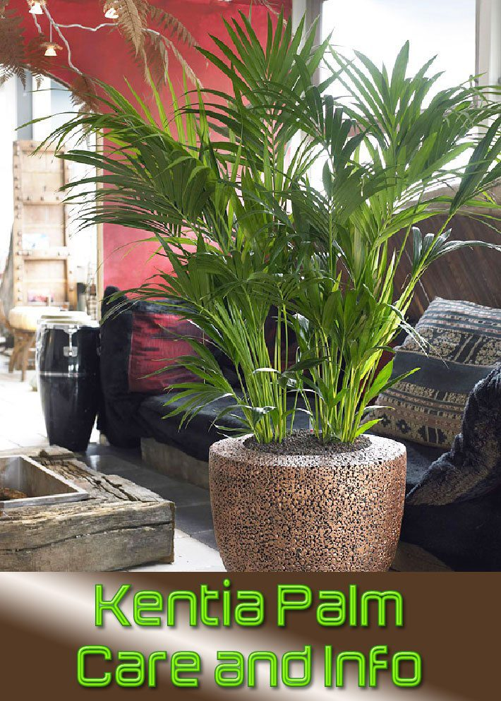 Kentia Palm – Care and Info