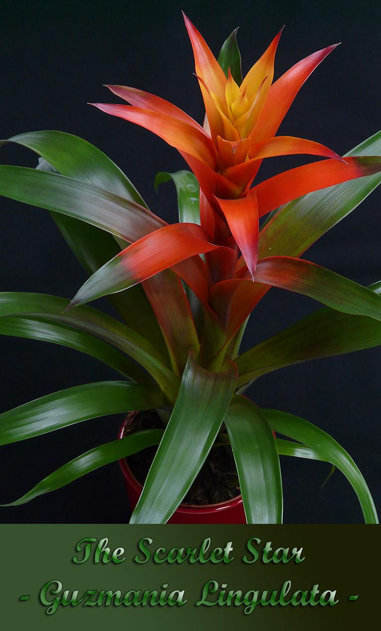 How to Care for the Scarlet Star - Guzmania Lingulata