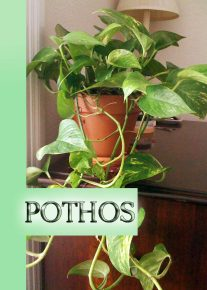 Pothos - The Easiest Houseplant to Grow