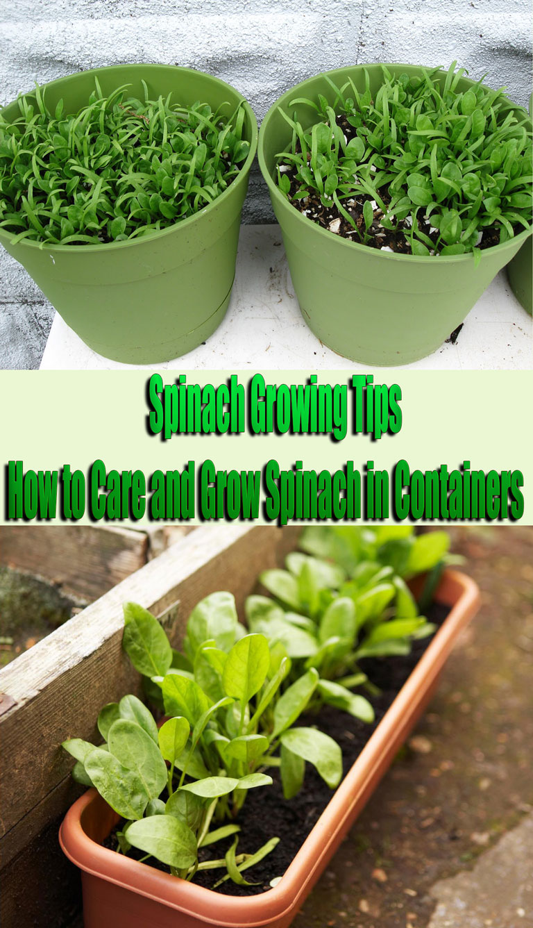 Spinach Growing Tips How to Care and Grow Spinach in Containers
