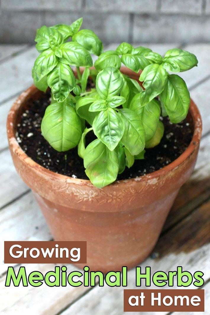 Growing Medicinal Herbs and Plants at Home