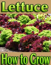 Lettuce - How to Grow