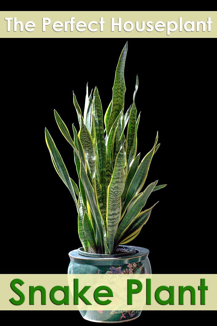 Snake Plant – Perfect Houseplant