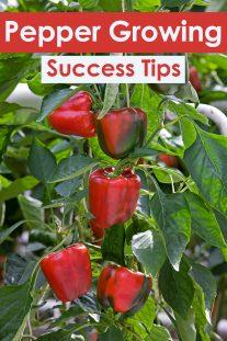 22 Pepper Growing Success Tips