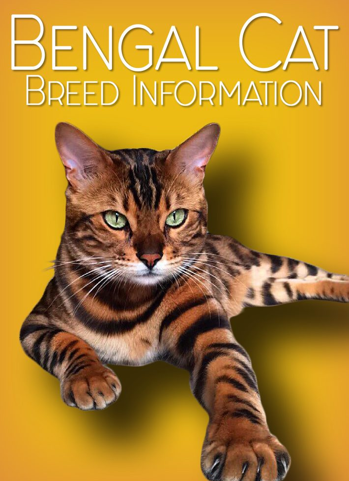 Bengal Cat – Breed Information