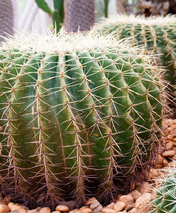 All About Barrel Cactus