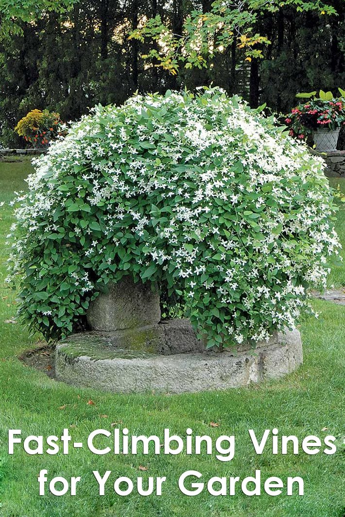 Fast-Climbing Vines for Your Garden