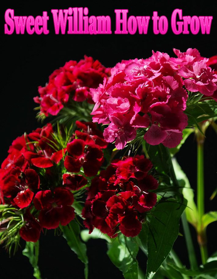 Sweet William – How to Grow