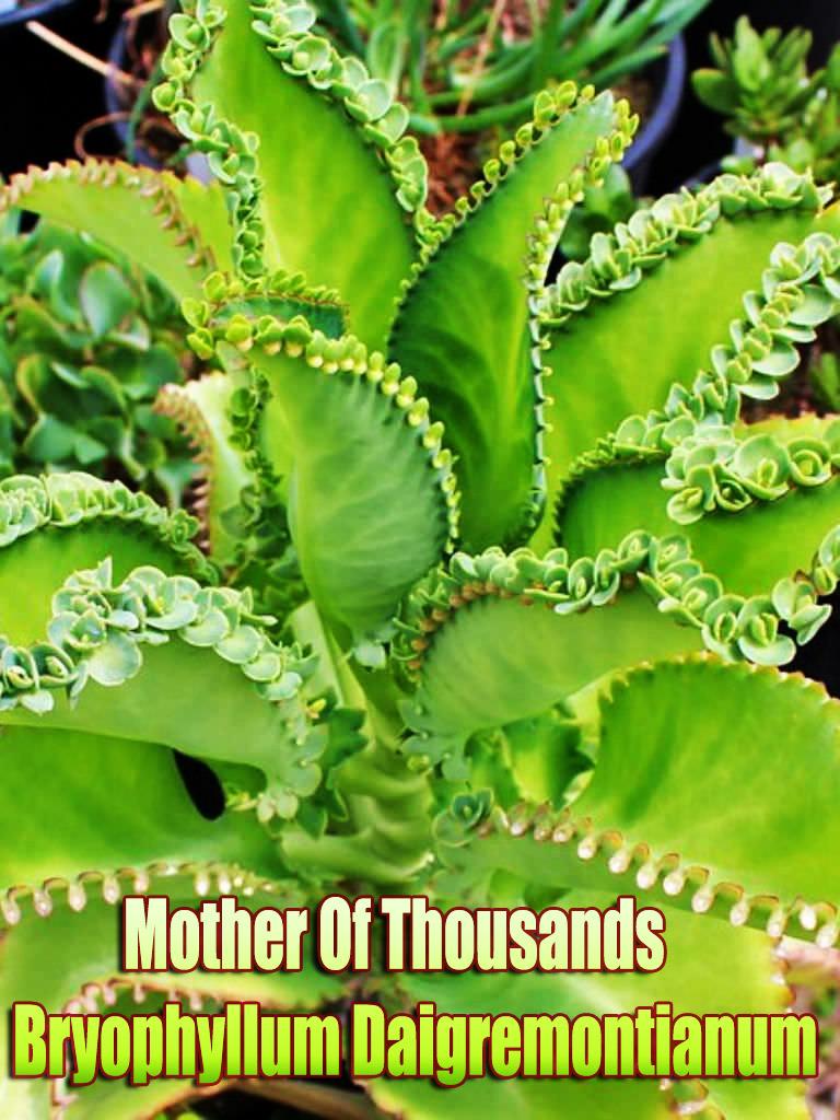 Quiet Corner Mother Of Thousands Bryophyllum