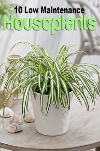 10 Low Maintenance Houseplants