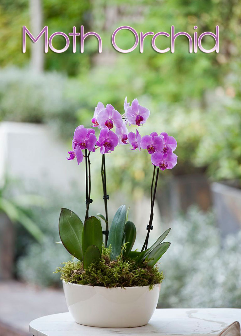 Moth Orchid – Care Tips, Propagating & More
