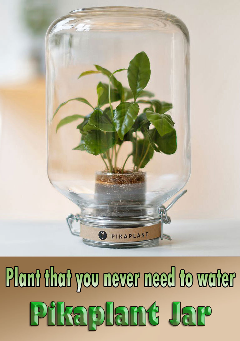 Plant that you never need to water - Pikaplant Jar