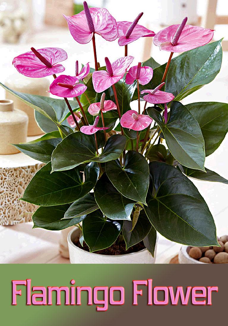 Flamingo Flower – Info, Care and More