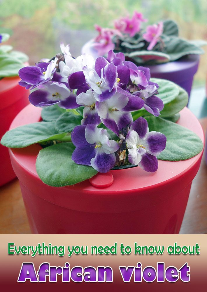 Everything you need to know about African Violet