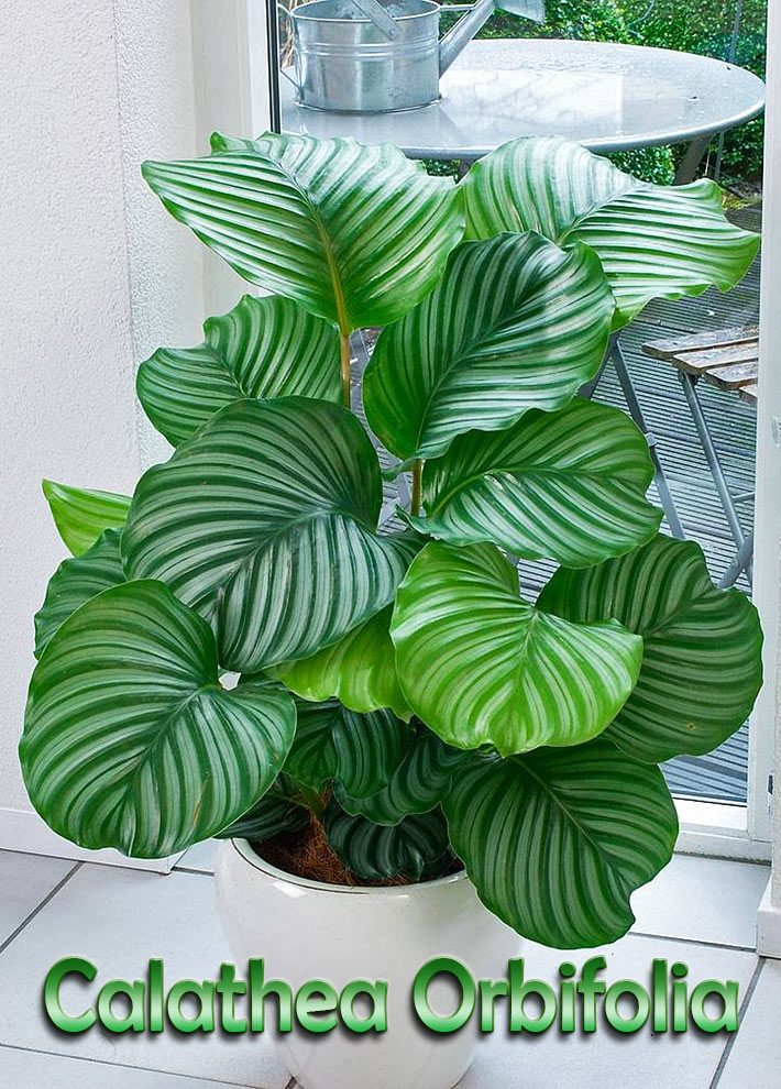 How to Grow and Care for Calathea Orbifolia
