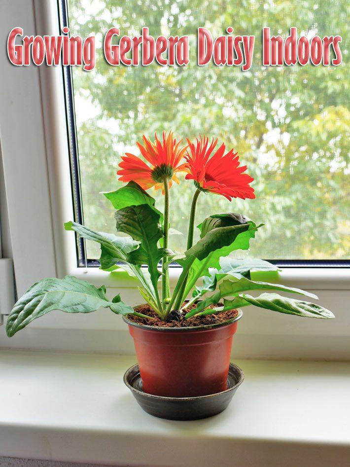 Gerbera Houseplants: Growing Gerbera Daisy Indoors