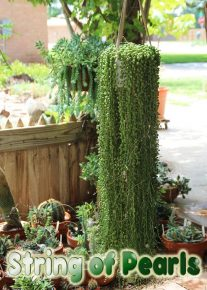 How to Grow and Care for a String of Pearls