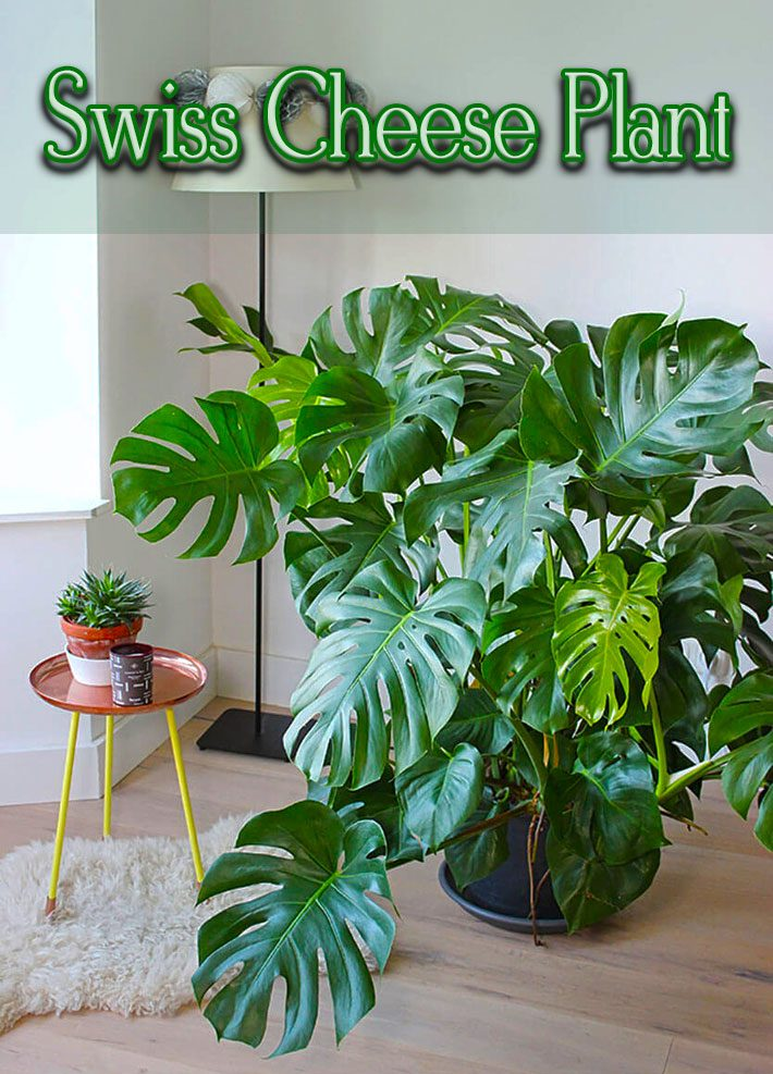 Monstera Deliciosa – The Swiss Cheese Plant