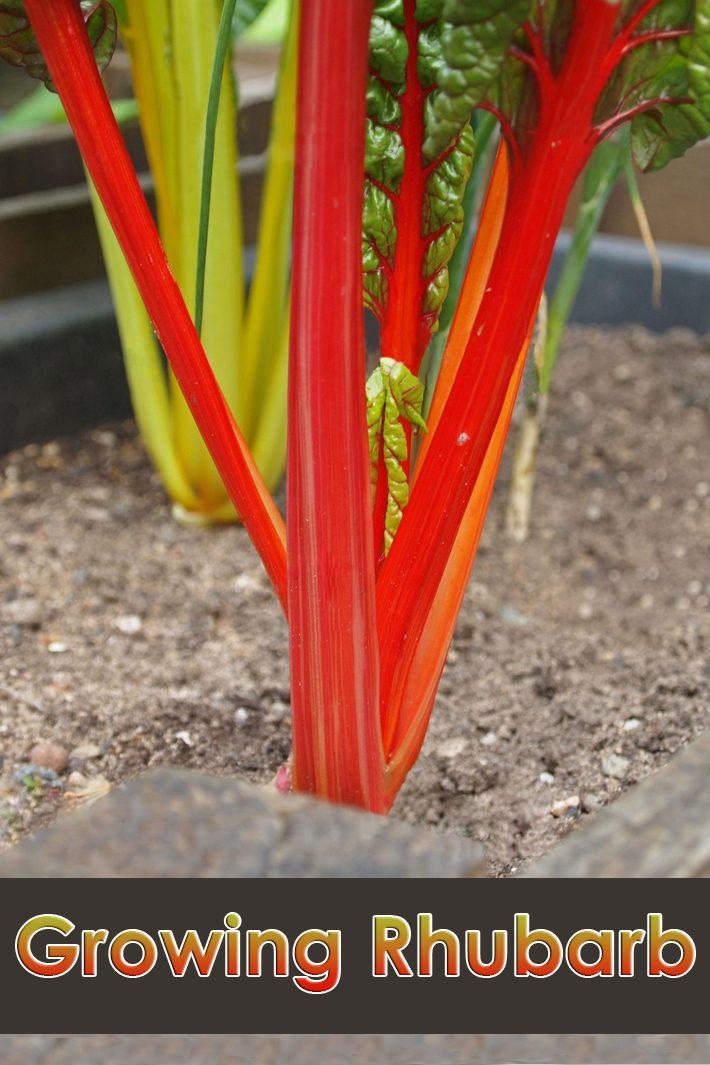 Early Spring Gardening – Growing Rhubarb