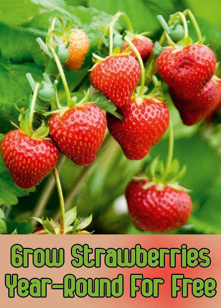Grow Strawberries Year-Round For Free