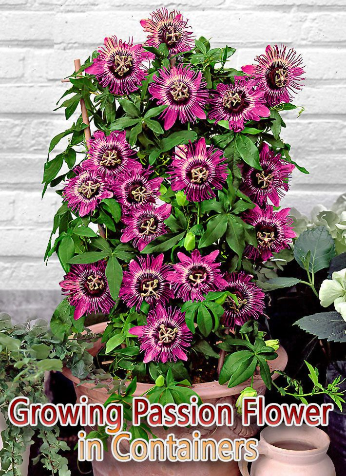 Growing Passion Flower in Containers
