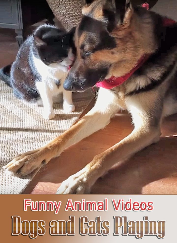 Image of: Cats Funny Animal Videos Dogs And Cats Playing Lukdocom Quiet Cornerfunny Animal Videos Archives Quiet Corner
