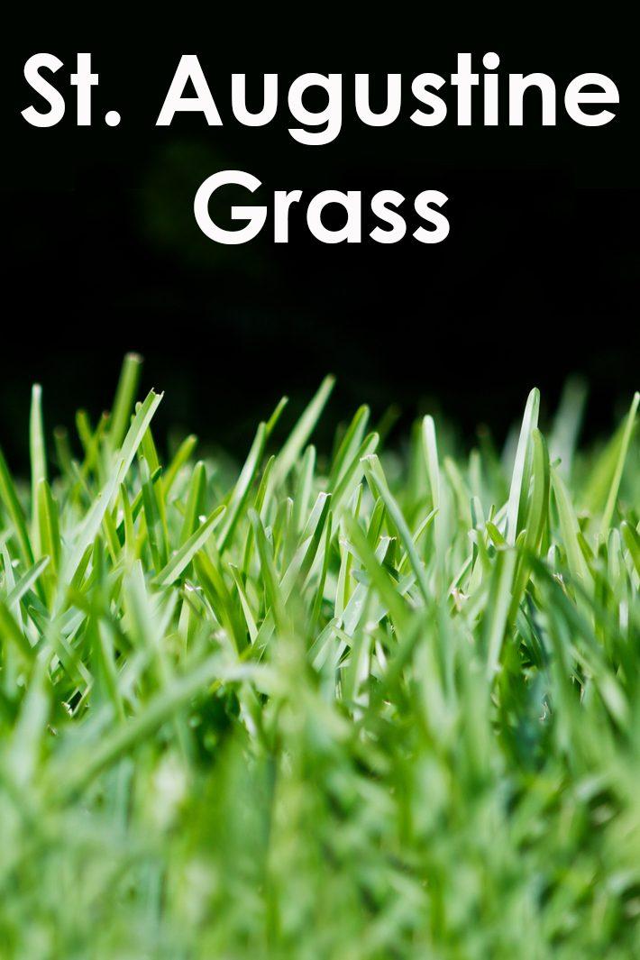 St.Augustine Grass